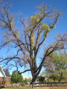 Black Walnut Tree at Rest